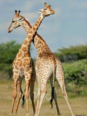 dos jirafas mas