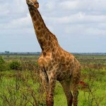 jirafa en llanura