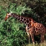 jirafa completa