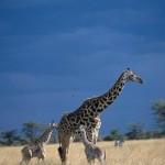 jirafa y su cria