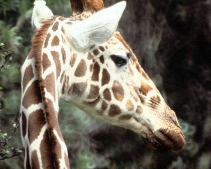perfil de jirafa