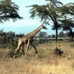 bella jirafa