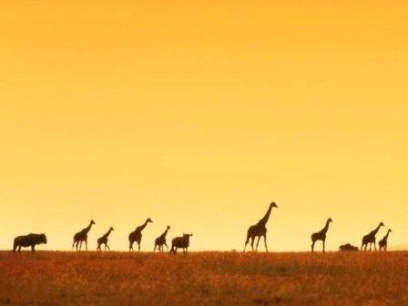 jirafas en africa