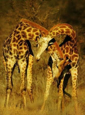 dos jirafas