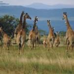rebaño de jirafas