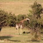 jirafa-masai