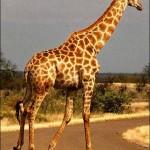 jirafa nigeriana