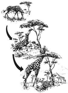 evolucion de la jirafa